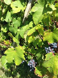 Vineyard Carra di Casatico