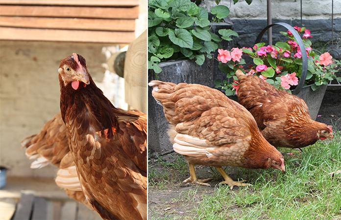 Osez les poules en ville dans un jardin bruxellois - Poules en ville reglementation ...