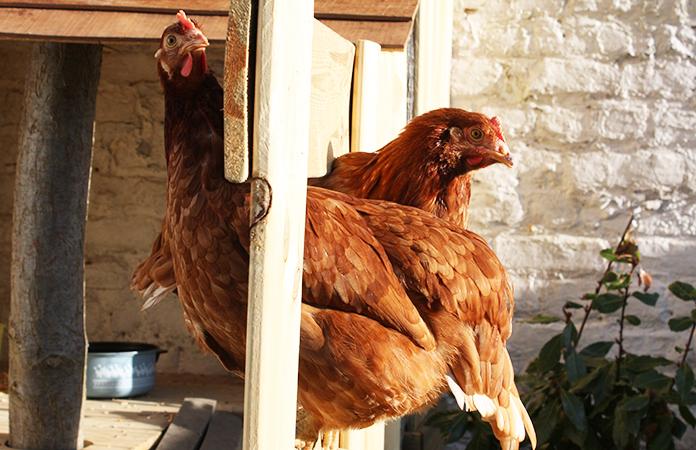 osez les poules en ville dans un jardin bruxellois. Black Bedroom Furniture Sets. Home Design Ideas
