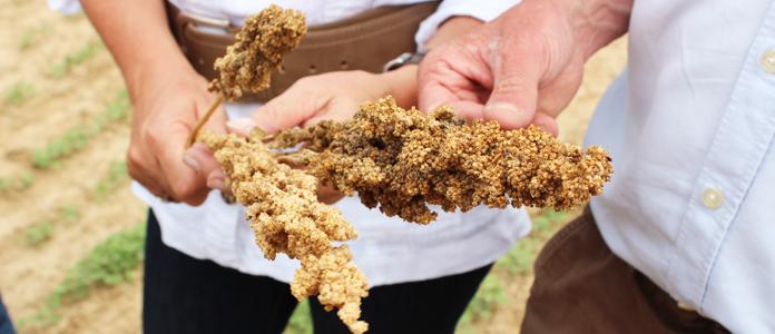 quinoa-belgique-2a