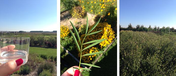 TomateCerise-Le-petit-marseillais-jardin3