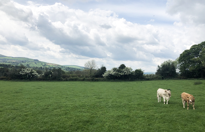 Irlande vache